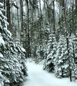 The trees are beautifully coated with snow.