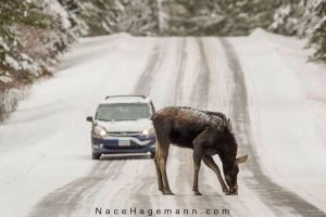 Moose in the road. Photo by Nace Hagemann.