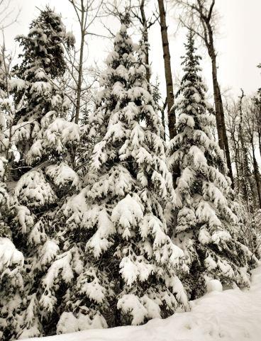 3.18.2016 3 pine trees